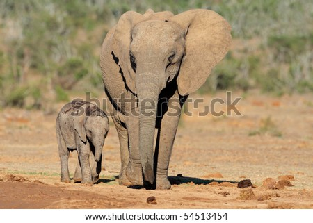 African elephant cow with small calf (Loxodonta africana), South Africa