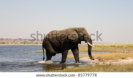 African elephant crossing a river. Chobe national park, Botswana