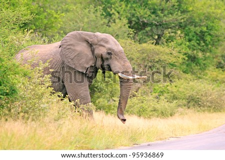 African elephant emerging from forest