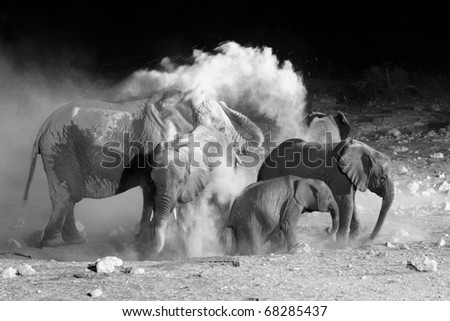 African Elephant family taking a dust bath