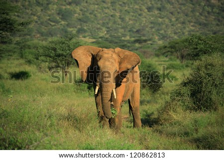 African elephant flapping its ears in Samburu National Park