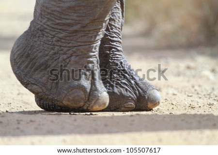 African elephant foot