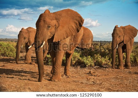 African elephant herd advancing