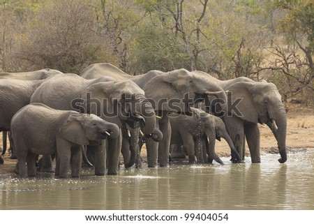 African Elephant herd drinking (Loxodonta africana), South Africa