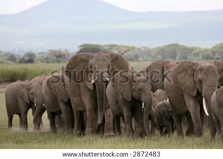 African Elephant herd in Amboseli National Park Kenya