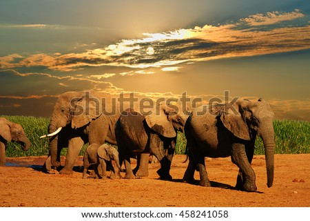 African elephant herd, Loxodonta africana, of different ages walking away from water hole, Addo Elephant National Park, South Africa Stock photo ©