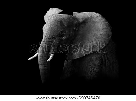 Stock Photo African Elephant in black and white