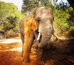 African elephant in its natural habbit. Africa's big5 and largest land mammal.