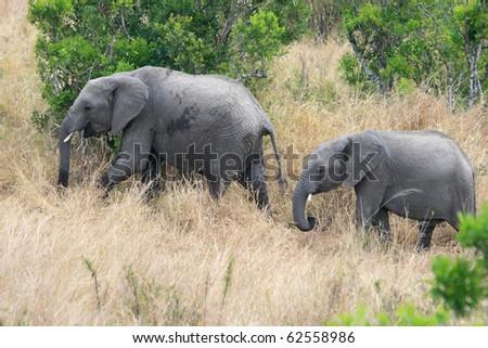 African elephant in Kenya's Maasai Mara