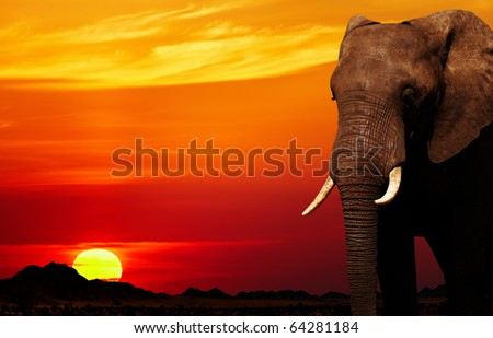 African elephant in savanna at sunset