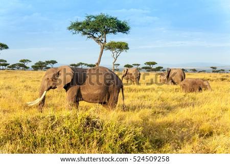 African elephant in The Maasai Mara National Reserve, Kenya