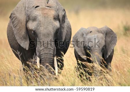 African elephant in the Masai mara, Kenya