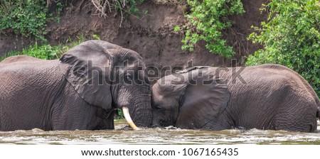 African elephant in the Queen Elizabeth National Park, Kazinga Channel (Uganda)