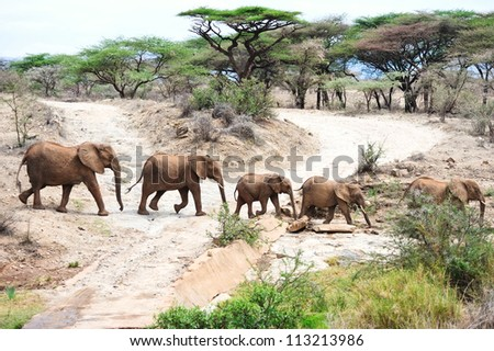 African elephant in the wild , Africa