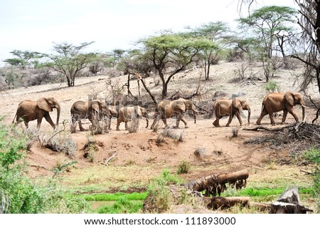 African elephant in the wild,Kenya