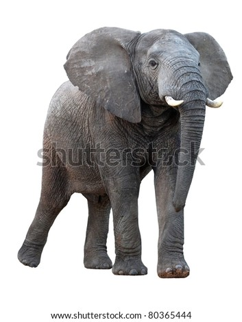 African Elephant - Isolated