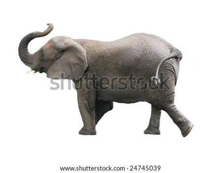 african elephant isolated against white background