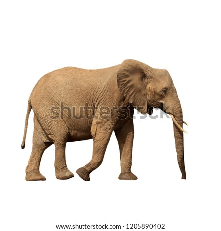 African Elephant isolated on white background