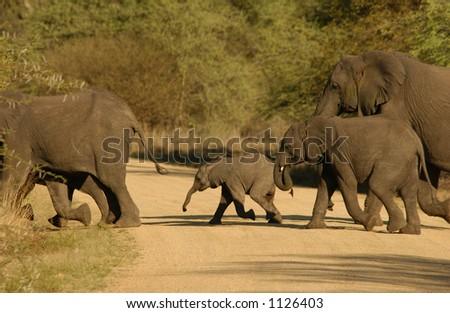 African Elephant - Kruger National Park, South Africa