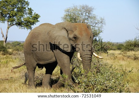 African elephant Kruger National Park, South Africa