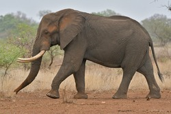 African Elephant largest land mammal was seen on safari in Kruger National Park and Botswana