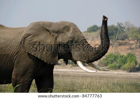 African Elephant Loxodonta africana