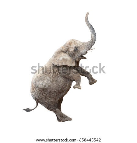 African elephant (Loxodonta africana) balancing. Funny animal isolated on white background.