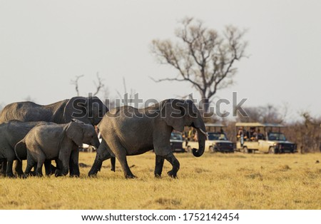 African Elephant (Loxodonta africana), breeding herd while being observed by tourists in their safari vehicles, Chobe National Park, Botswana Foto stock ©