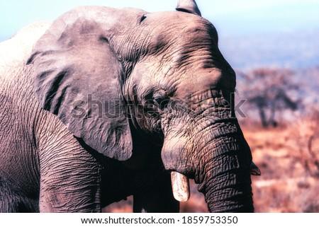 African elephant (Loxodonta africana) bull, Welgevonden Reserve, South Africa, Africa - Stock photo ©