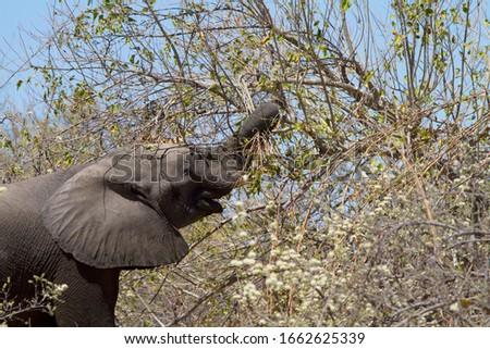 African Elephant (Loxodonta africana), eating  in the Third Bridge Camp, Okavango Delta, Moremi Game Reserve, Botswana.  Stock photo ©