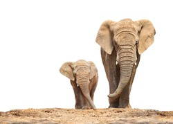 African elephant (Loxodonta africana) family on a white background.