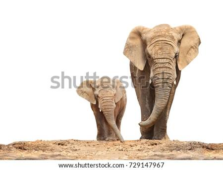 African elephant (Loxodonta africana) family on a white background.