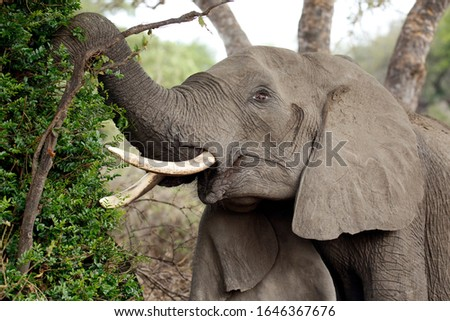 African Elephant (Loxodonta africana) Feeding from a Tree. Timbavati, Kruger Park, South Africa Stock photo ©