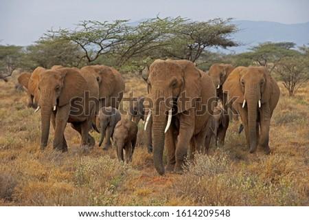 African Elephant, loxodonta africana, Group walking through Savanna, Masai Mara Park in Kenya   Stock photo ©