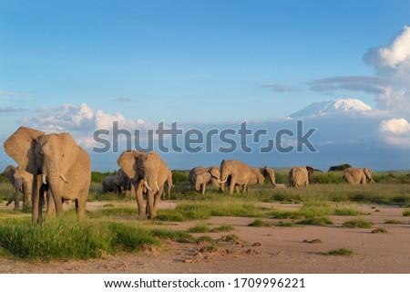 African elephant (Loxodonta africana) herd foraging in front of mount Kilimanjaro, Amboseli national park, Kenya. Stock photo ©