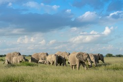 African elephant (Loxodonta africana) herd foraging in grassland, with the calfs protected in the middle, Amboseli national park, Kenya.