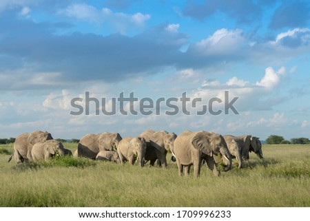 African elephant (Loxodonta africana) herd foraging in grassland, with the calfs protected in the middle, Amboseli national park, Kenya. Stock photo ©
