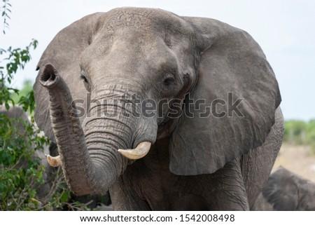 African Elephant (Loxodonta africana) in Chobe National Park in Botswana, Africa. Stock photo ©