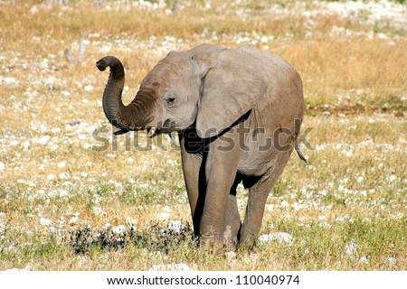 African Elephant (Loxodonta Africana). Raising trunk. Taken at a water hole in Etosha, Namibia, Southern Africa.