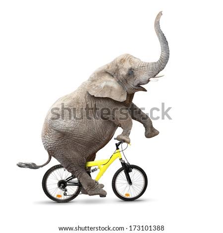African elephant (Loxodonta africana) riding a bike.
