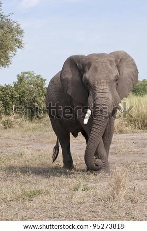African Elephant, Loxodonta africana, South Africa