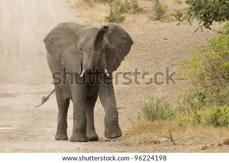 African Elephant (Loxodonta africana) using its trunk to smell, Kruger Park, South Africa