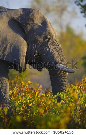 African Elephant (Loxodonta africana). Vulnerable Species. Kruger National Park, South Africa.