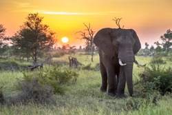 African Elephant (Loxodonta africana)  walking in bushveld in early morning sun in Kruger national park South Africa
