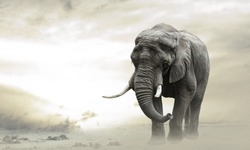 African elephant male walking alone in desert at sunset