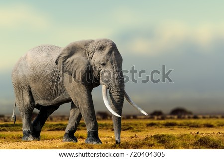 African Elephant, Masai Mara National Park, Kenya. Wildlife scene in nature habitat