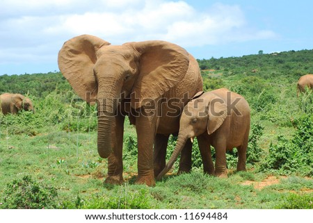 African elephant mom with cute little baby calf