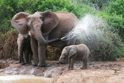 African elephant mother and baby cooling off at a water hole