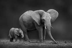 African elephant mother and son
