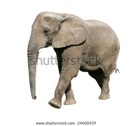 african elephant on white background